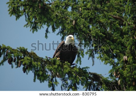 A regal Bald Eagle in a tree.