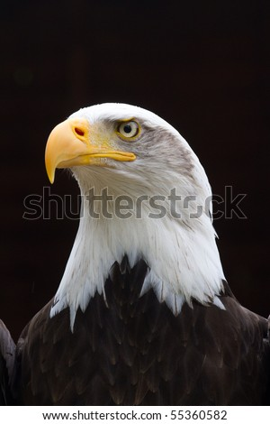 A Regal looking Bald Eagle with small rain drops on head  looking to the side with a black background