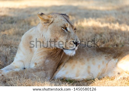 a restful female lioness in the shade out of the hot dry grasslands resting grooming vigilant of her surroundings #1450580126