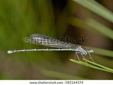 A resting blue damselfly. Not to be confused with a dragonfly, these small creatures only have two pairs of wings, compared to a dragonflies' four. They love to pounce on and catch insects. #582164374