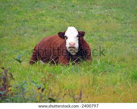 A resting cow in New England