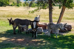 a resting group of wild burros in custer state park