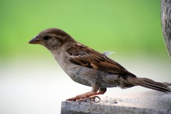A restless sparrow after a hearty lunch. A restless sparrow after a hearty lunch. A bright sparrow pecks bread crumbs. The male differs from the female by the presence of a black spot at the chin.