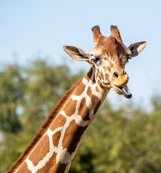 A reticulated giraffe appears to be making a funny face, but it actually is eating.