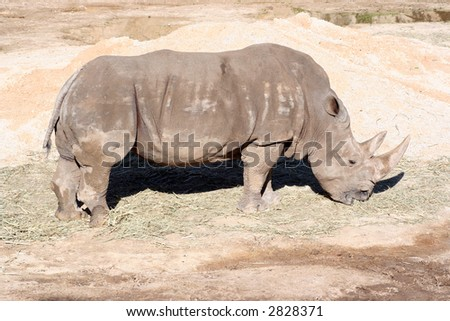 A rhino eating hay at the zoo.  A very sunny day allowed for a great shot.
