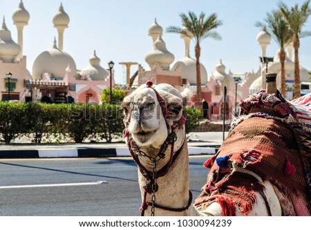 A riding camel in a bright blanket on the sunny street of Sharm El Sheikh #1030094239