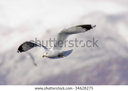 A Ring Billed Gull flying by