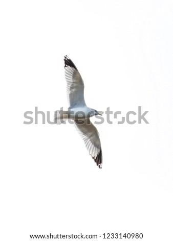 A ring-billed gull, Larus delawarensis, soars above Lake Caroline, in northwest Louisiana, isolated against a white sky..