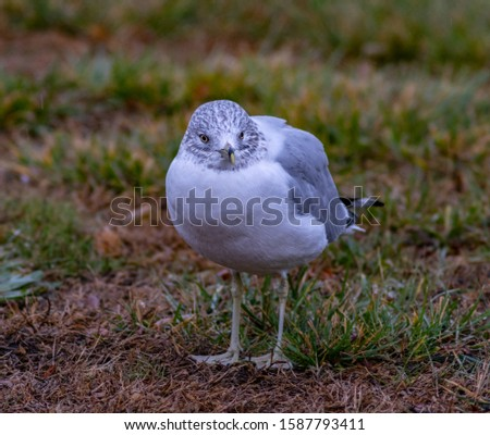 A Ring-Billed Gull Looks Cold While Standing on the Grass