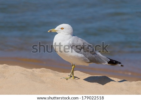 A ring-billed seagull walk on the sand near the water\'s edge.