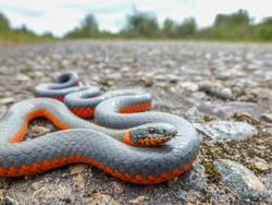 A ring neck snake rests in the sun on a rural road.