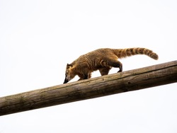 A Ring-Tailed Coati Climbs Across A Telephone Pole Against the Sky