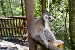 A Ring-tailed lemur (Lemur catta) lean on the pillar, sitting like a human being.  It is a large strepsirrhine primate and the most recognized lemur due to its long, black and white ringed tail.