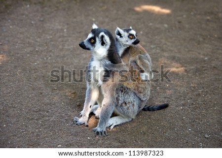 a Ring-tailed lemur with young on back.