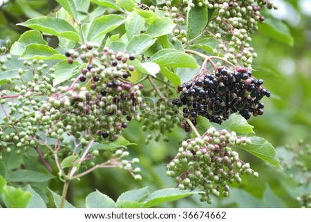 A ripe bunch of elderberries hanging from a tree