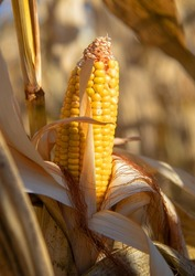 A ripe ear of corn on a dry branch in the field, illuminated by bright sunlight. Autumn background.