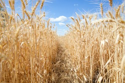 A ripened field of wheat ears and a sky with clouds in the background.