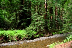 A river through Muir Woods National Monument