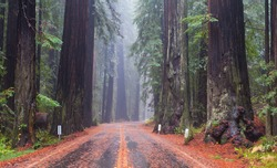 A road through the California Redwood forests