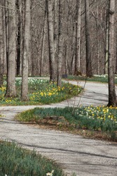 A road through the daffodils and trees