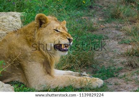 A roaring lion #1139829224