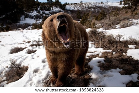 a roaring male bear during autumn Foto stock ©