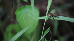 A Robber fly Hunting An Insect On A Blade Of A Leaf