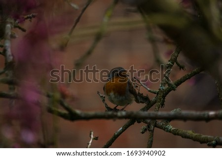 A Robbin sat on a cherry tree's branches, waiting to feed from the bird feeder. Stock fotó ©