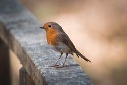 a robin during a break