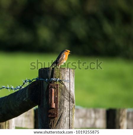 A Robin (Erithacus rubecula) singing on a gatepost. #1019255875