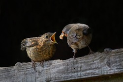 A Robin (Erithacus Rubecula) stood on a piece of wood with food in its mouth about to feed a young Robin with a black background