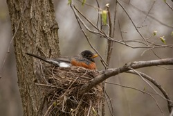 a robin in a nest in a tree in the forest laying on eggs in the spring time of a nature reserve in north America with it's mate watch near by for the babies to hatch