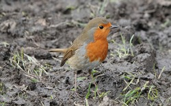 A robin redbreast bird standing on muddy ground, looking around curiously