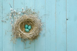A robin's nest with three eggs, abandoned and salvaged from a construction site, on a rustic aqua painted board surface with pussy willows