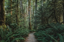 A rocky path, Trail of the Cedars, leads through the giant ferns and giant mossy cedar trees through a forest in North Cascades National Park, Washington, USA.