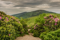 A rocky trail runs right through rhododendron bushes in bloom on Jane Bald