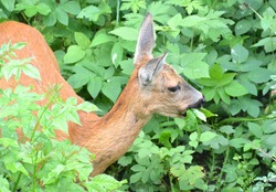 a roe deer feeding in the tall grass