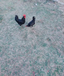A rooster and a hen are eating grass