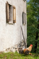 A rooster in front of a white farmbuilding wall in a Swiss openair museum near Brienz