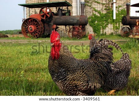 A rooster in front of an old abandoned steam engine tractor