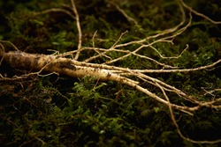 A root of wild ginseng on moss