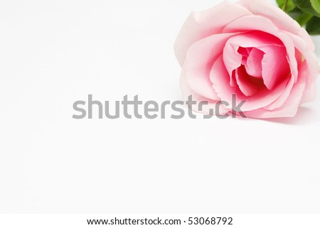 a rose flower on a white background
