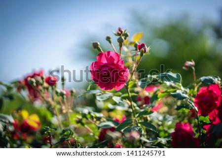 a rose glistening in the sun