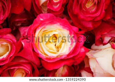 A rose has two colors,outer side has pink color & inner side has yellow color.It looks beautiful, image used as a wallpaper background,desktop wallpaper,printing material. #1359224390