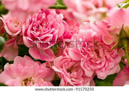 A rose is a perennial flower shrub or vine of the genus Rosa, within the family Rosaceae.