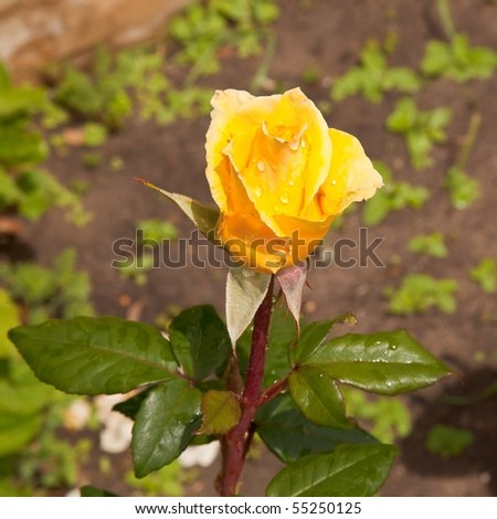 A rose is a perennial flower shrub or vine of the genus Rosa, within the family Rosaceae, that contains over 100 species and comes in a variety of colours.