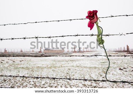 A rose on the Barbed Wire Fence in the snow covered concentration camp of Auschwitz Birkenau, Poland