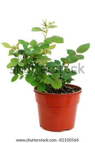 A rose plant pot