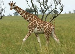 a Rothschild Giraffe walking in Uganda (Africa)