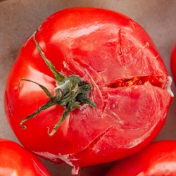 A rotten moldy smashed red tomato top view. Fresh vegetable with desease